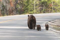 Bears on the Road ... (Alex Verweij) Tags: bears road jaspernationalpark jasper park wild predator hunter beer beren berenopdeweg alexverweij nature natuur cub cubs walking wandelen gevaarlijk close dichtbij canada jasperskytram pursuitbanffjasper canon 5d 200mm markiii