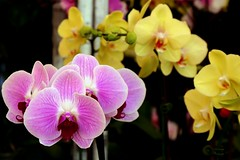Orchid (Prayitno / Thank you for (12 millions +) view) Tags: live life fresh flower orchid dof purple yellow colorful macro macrophotography