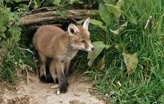 Fox Cub (charlie.syme) Tags: fox mammal wildlife nature nikon
