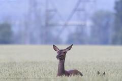 .. (jesscser) Tags: natural wildlife deer nikon sigma biche cervidé cerf bambi faon contemporary paine blé orge velours oise champ