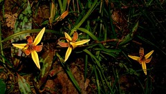 Three Trout Lillies (hardmile) Tags: flowers flower spring nature beauty magic outdoors forest