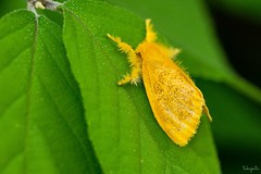 Tea tussock moth (Arna pseudoconspersa) (takapata) Tags: sony sel90m28g ilce7m2 macro nature moth insect