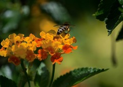 Working It (ACEZandEIGHTZ) Tags: flowers bokeh nature nikond3200 bee honeybee bright colors apismellifera apian flyinginsect coth5 coth sunrays5 naturethroughthelens