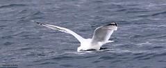 J78A0168 (M0JRA) Tags: scotland isles mull sea water waves boats reflections land birds holidays vacations sky clouds sunset sun deer fields roads gulls