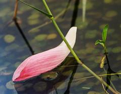 Lotus petal (Thanathip Moolvong) Tags: hasselblad 501 cm 250mm f56 kodak portar 160 cropped