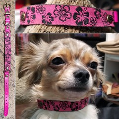 45404963_1892380127525513_3964341701396398080_o_1892380120858847 (ToutEnBronze) Tags: chien chat collier québec handmade collar dog cat