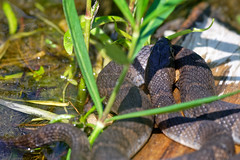 Northern Water Snake (JY_Photos) Tags: jyphotos indiana usa nikon affinityphoto outdoor dslr dxoopticspro northernwatersnake snake water colubridae nerodiasipedon animalia eaglecreekpark lake indianapolis birdsofecp
