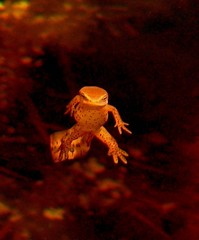 Newt Floating Above Leaves I (hardmile) Tags: newt newts reptile reptiles amphibian amphibians wildlife nature beauty magic outdoors forest water animals angelic angels mermaids