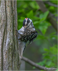 Hairy Woodpecker (Summerside90) Tags: birds birdwatcher hairywoodpecker june spring backyard garden nature wildlife ontario canada
