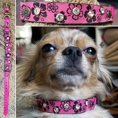46114929_1902139409882918_455079543384834048_o_1902139406549585 (ToutEnBronze) Tags: chien chat collier québec handmade collar dog cat