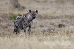 Spotted Hyena (fascinationwildlife) Tags: animal mammal wild wildlife wildlifephotography nature natur national nationalpark naturephotography naturfotografie photography fotografie spotted hyena hyäne tüpfelhyäne predator sanparks south africa summer südafrika afrika dusk eastern cape addo