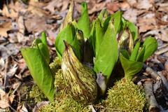 spathes and rolled leaves, skunk cabbge (ophis) Tags: alismatales araceae symplocarpus symplocarpusfoetidus skunkcabbage spathe
