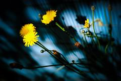 Little Suns in the Blue Shadow (NathalieSt) Tags: europe france arbre feuille feuilles fleur flower fuji fujifilm leaf leaves lensbabytrio28 nature noyon tree trio trio28 xt20