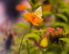 Flower and butterfly (Thanathip Moolvong) Tags: hasselblad 501 cm 250mm f56 kodak portar 160 cropped