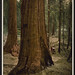 Saluting Nature Photography Day with a portrait of trees still living a century later (LOC)