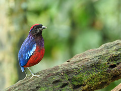 Garnet Pitta (WilliamPeh) Tags: olympus omb birds birding wild wildlife garnet pitta