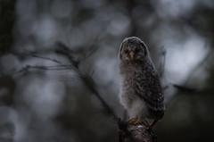 At midnight (MatsOnni) Tags: mattisaranpää viirupöllö strixuralensis uralowl juveline pöllöt owls linnut birds midnight