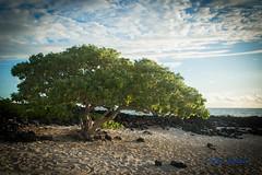 DSC_7315 (dtolly1996) Tags: bigisland hawaii2019 hawaii