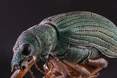 Broad-nosed weevils-2 (Harry Sterken) Tags: arthropod beetle broadnosedweevils curculionidae focusstapelen geleedpotige greenbeetle groenestruiksnuitkever groenestruiksnuittor insekt kaefer kever laowa25mmf28255xultramacro macro nature natuur nikond850 photostacking polydrusussericeus seidigerglanzrüssler snuitkever snuittor stack struiksnuitkever ultramacro zerene zerenestacker zijdeglansbladsnuitkever