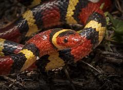 Scarlet Kingsnake (cre8foru2009) Tags: lampropeltiselapsoides scarletkingsnake snake herping nature colorful