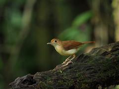 Ferruginous Babbler (WilliamPeh) Tags: olympus omd birds birding wild wildlife explore ferruginous babbler