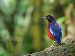 Garnet Pitta (WilliamPeh) Tags: olympus omd birds birding wild wildlife garnet pitta
