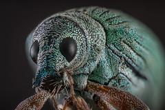 Broad-nosed weevils (Harry Sterken) Tags: arthropod beetle broadnosedweevils curculionidae focusstapelen geleedpotige greenbeetle groenestruiksnuitkever groenestruiksnuittor insekt kaefer kever laowa25mmf28255xultramacro macro nature natuur nikond850 photostacking polydrususformosus seidigerglanzrüssler snuitkever snuittor stack struiksnuitkever ultramacro zerene zerenestacker zijdeglansbladsnuitkever