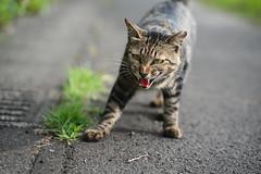 猫 (fumi*23) Tags: ilce7rm3 sony sel85f18 fe85mmf18 feline 85mm a7r3 animal katze cat chat gato neko ねこ 猫 ソニー bokeh