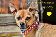 ~~ Joyeux Anniversaire Lily...~~ (Joélisa) Tags: juin2019 lily chien dog anniversaire