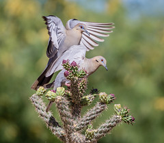 White Winged Doves (mary_hulett) Tags: elephanthead thepond animal cholla travel amado bird plant action arizona whitewingeddove fruit wings southeastarizona