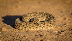 Western Diamondback Rattlesnake (mary_hulett) Tags: elephanthead thepond travel amado westerndiamondback crotalisatrox animal arizona reptile snake rattlesnake southeastarizona