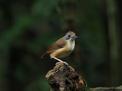 Short-tailed Babbler (WilliamPeh) Tags: olympus birds birding wild wildlife explore short tailed babbler