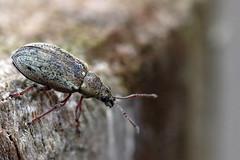 Weevil (PJ Swan) Tags: weevil beetle insect minibeast