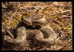 Vipera ammodytes (MarekOnski) Tags: nosehornedviper hornotter viper viperaammodytes schlange snake vipera gebirge österreich kärnten wildnis wildlife habitat natur nature wald nikond7200 reptile reptilien