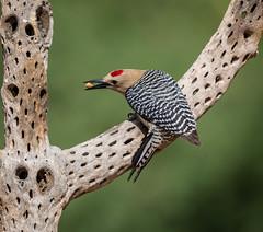 Gila Woodpecker (mary_hulett) Tags: elephanthead plant travel amado bird gilawoodpecker cholla arizona animal woodpecker thepond southeastarizona