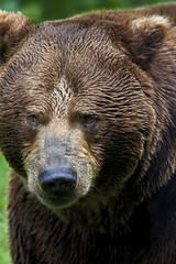 Braunbär / European brown bear (Ursus arctos) (uwe125) Tags: säugetier animal tierpark springe wisentgehege braunbär europäischer brownbear