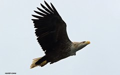 White Tailed Sea Eagle J78A0177 (M0JRA) Tags: scotland isles mull sea water waves boats reflections land birds holidays vacations sky clouds sunset sun deer fields roads gulls eagles