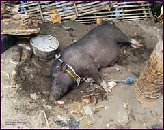 Bali Pig Afternoon 20190319_132205 LG (CanadaGood) Tags: bali color colour indonesia asia seasia asean 2019 buleleng canadagood thisdecade animal pig farm lovina
