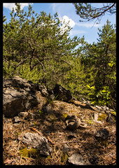 Vipera ammodytes in habitat (MarekOnski) Tags: vipera ammodytes viper schlange snake giftschlange österreich kärnten gebirge mountain reptilien reptile wald nikond7200 herping natur nature wildnis wildlife naturfotografie