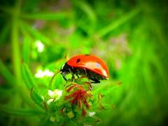 ladybird/ladybug (Jackal1) Tags: ladybird ladybug insect bug nature macro