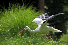 Weißstorch / White stork (Ciconia ciconia) (uwe125) Tags: stork weisstorch storch flug start birds vögel animals tiere