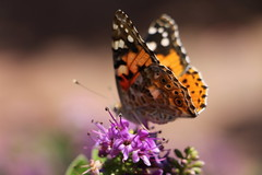 Have a nice weekend... (Nora077) Tags: butterflies noratoth
