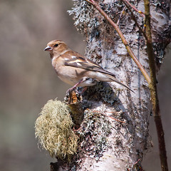 Female Chaffinch (captures.in.time) Tags: chaffinch male wildlife wildlifephotography birds rspb birding twitching birdphotography nature naturephotography canon sigma lens 150600 naturereserve pine pineforrest caledonian forrest scottspine ngm ngc wwf feathers beak bird tree