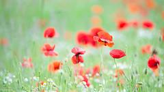 10062019-DSC_0090 (vidjanma) Tags: bokeh champ coquelicots fleurs marguerites pastel