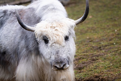 Yak (Cloudtail the Snow Leopard) Tags: yak animal mammal tier säugetier bos mutus rind wild bovid walter zoo gossau