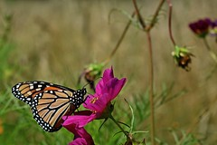 Monarch (NC Mountain Man) Tags: butterfly dof insect flyinginsect ncmountainman nikon d3400 phixe lowresolutionversion monarch