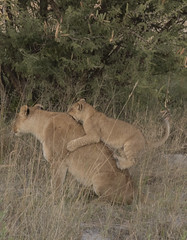 Lion Cub playing with its mother (Rocacidi) Tags: africa botswana lions lioness lioncub play bush grasslands maternal motherandchild