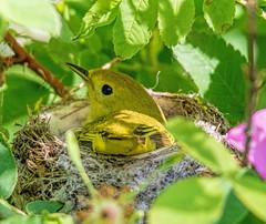 Please Do Not Disturb (edmason88) Tags: yellowwarbler nesting shade eggs tamron150600