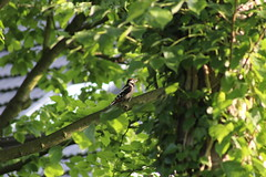 great spotted woodpecker (Enzo_MG) Tags: great spotted woodpecker picchio rosso maggiore nature bird uccello