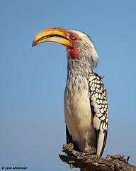 Southern Yellow-billed Hornbill (leendert3) Tags: leonmolenaar wildlife southafrica krugernationalpark wilderness wildanimal naturereserve naturalhabitat nature bird southernyellowbilledhornbill ngc npc